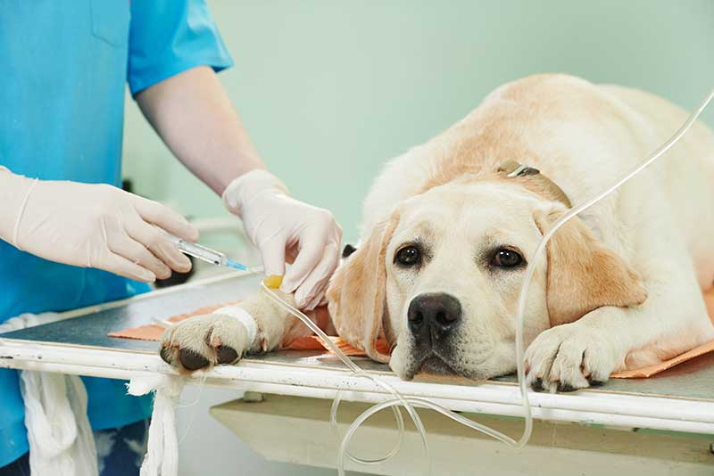 Oak Harbor Veterinary Hospital: Ladrador Dog at clinic